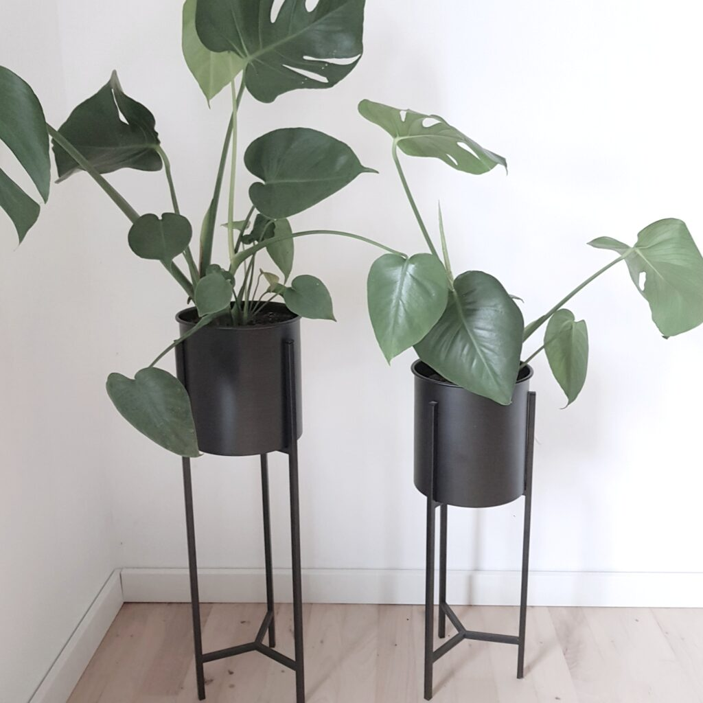 monstera bloggerplanten